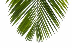Top view closeup part of phoenix palm leaf. Isolated branch at the white background for a travel flyer.  royalty free stock image