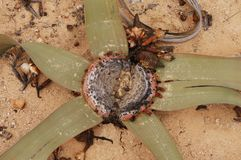 Top view closeup of star shaped Welwitschia Mirabilis in Namibe desert, Namibe stock image