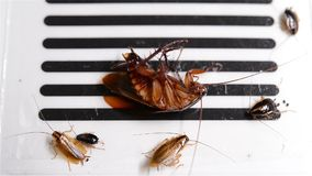 Top view cockroach struggling on a sticker or catcher closeup. Top view cockroach struggling on a sticker or catcher close up stock footage