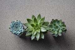 Three flowerpots with different plants Succulents Echeveria. Top view collection of various succulent plants Echeveria in pots. Potted house plants on gray stone stock photos