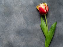 Top view of colored tulip on a gray table. Flat lay with blank copy space. Valentines, Mothers, Womens Day and greeting stock photography