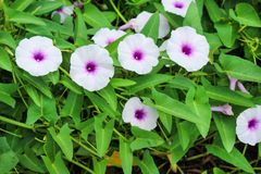 Top view colorful flowers of Ipomoea aquatica or morning glory blooming in farm herbaceous plant convolvulaceae herbaceous royalty free stock photography