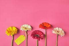 Top view of colorful Gerbera flowers in row with blank tag on pink, mothers day concept stock images