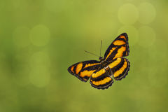 Top view of colour segeant butterfly ( Athyma nefte ). Top view of flying colour segeant butterfly ( Athyma nefte royalty free stock photos