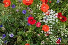 Wild flowers, including poppies, cornflowers and cow parsely, on a roadside verge in Eastcote, Hillingdon, West London UK.