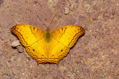 Top view of common cruiser butterfly on sand Stock Photo