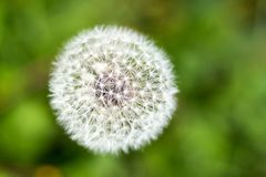 Top view of a common dandelion Taraxacum officinale , a flowering herbaceous perennial plant of the family Asteraceae royalty free stock photo