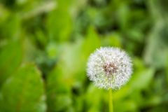 Top view of a common dandelion Taraxacum officinale, a flowering Stock Photography