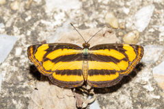Top view of common lascar butterfly Stock Photos