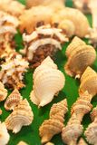 Top view of conch shells on green velvet. Soft lighting. Close up. Shallow dept of field. Selective focus.  stock image