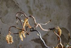 Top-view of contorted hazel. Top view of the branches and pollen of contorted witch hazel stock image