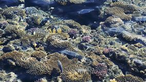 Top view of coral reef with fish. coral reef in the red sea texture. feeding the fish in the red sea.  stock video footage