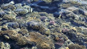 Top view of coral reef with fish. coral reef in the red sea texture. feeding the fish in the red sea stock footage