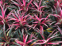 Top view of Cordyline fruticosa, red and green leaf plant Stock Photos