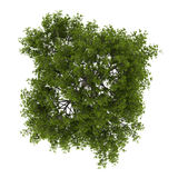 Top view of crack willow tree isolated on white Stock Images