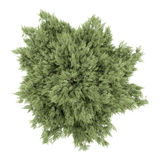 Top view of crack willow tree isolated on white Royalty Free Stock Photo