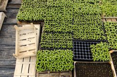 Top view of crates / containers filled with bunch of seedlings royalty free stock photography