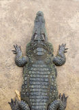 Top view Crocodile Royalty Free Stock Images