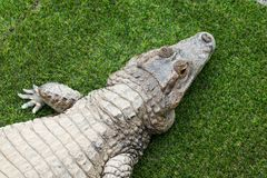 Top view of crocodile royalty free stock photos