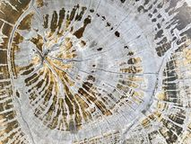 Cross section. Top view the cross section tree trunk with annual ring and crack of the tree Stock Photography