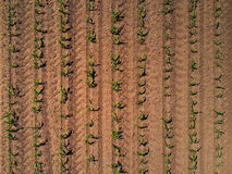 Top view of cultivated maize field from drone Royalty Free Stock Photos