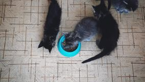 Top of view cute litter of Maine Coon kittens eating healthy cat food from a bowl together on the floor of a kitchen stock video footage