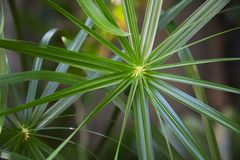 Free Top View Cyperus Papyrus Or Umbrella Sedges, Green Leaves With A Strange And Beautiful Shape Stock Images - 147307294