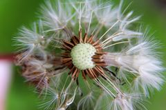 Top view on a dandelion in crosswise with blurred background stock photos