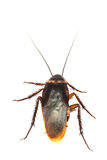 Top view a dead cockroach on white background Stock Photography