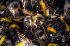 Top view of dead honeybees and bumblebees. stock photo