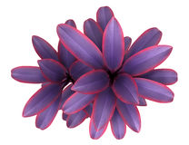 Top view of decorative purple plant isolated on white Royalty Free Stock Photo