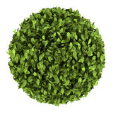 Top view of decorative round plant isolated Stock Image