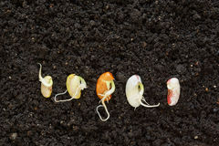 Top view of different been seeds germinating in soil. Different been seeds germinating in soil Royalty Free Stock Image