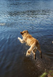 Top view of Dog Golden Retriever dives into the forest lake shore with a running, a moment before immersion in water Royalty Free Stock Image