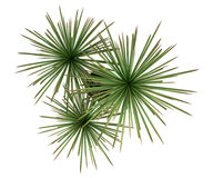 Top view of dracaena plant in pot isolated on white Royalty Free Stock Images