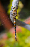 Top view  dragonfly Royalty Free Stock Photo
