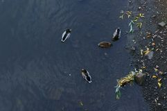 Top view of the ducks in the water stock image
