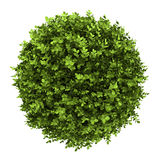 Top view of dwarf english boxwood isolated Royalty Free Stock Images