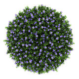 Top view of dwarf periwinkle flowers isolated Stock Photography