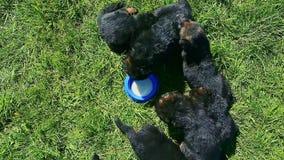 Top view eight german shepherd puppies drink milk from blue bowl
