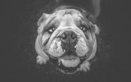 Top view of English bulldog Stock Images