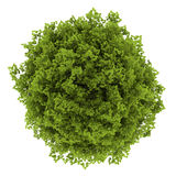 Top view of euonymus verrucosa bush isolated Royalty Free Stock Photography