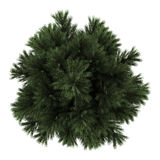 Top view of european black pine tree isolated Royalty Free Stock Images