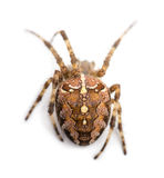 Top view of an European garden spider Stock Images