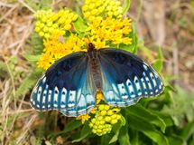 Top view of a fabulous blue female Diana Fritillary butterfly stock photos