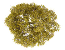 Top view of fall english oak tree isolated on white Stock Image
