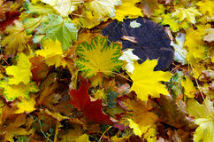 Top view of fallen autumn maple leaves. That cover the surface of the soil and an old tree stump Stock Images