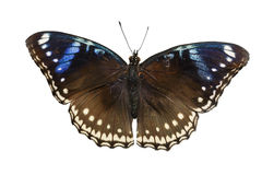 Top view of female great eggfly butterfly on white Royalty Free Stock Photos