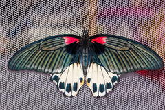 Top view of female Great mormon Butterfly Royalty Free Stock Photos