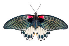 Top view of female Great mormon Butterfly Royalty Free Stock Image